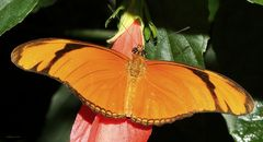 Schmetterling-The Flame ( Dryas julia )