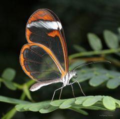 Schmetterling -The Glass Wing Greta oto