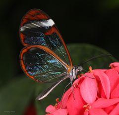 Schmetterling-The Glass Wing Greta oto