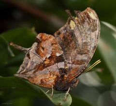 Schmetterling-Tiger Leafwing-Consul fabius