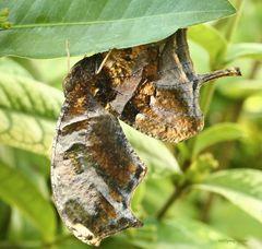 Schmetterling Tiger Leafwing Consul fabius