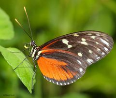 Schmetterling-Tiger Longwing Heliconus hecale