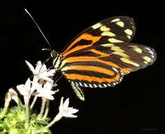 Schmetterling Tiger Passionsfalter