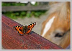 Schmetterling und Haflingerfohlen