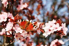 Schmetterling und Pflaumenblüte