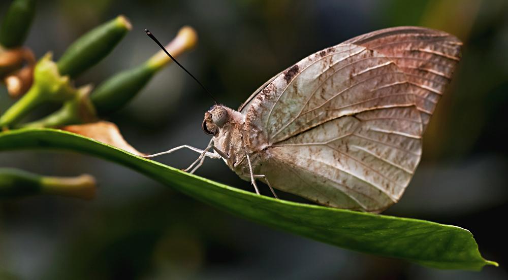Schmetterling - unscheinbar und dennoch edel!