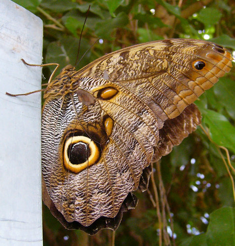 Schmetterling V