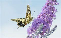 Schmetterling( vergrossert da er zu weit war!
