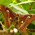 Schmetterling VI