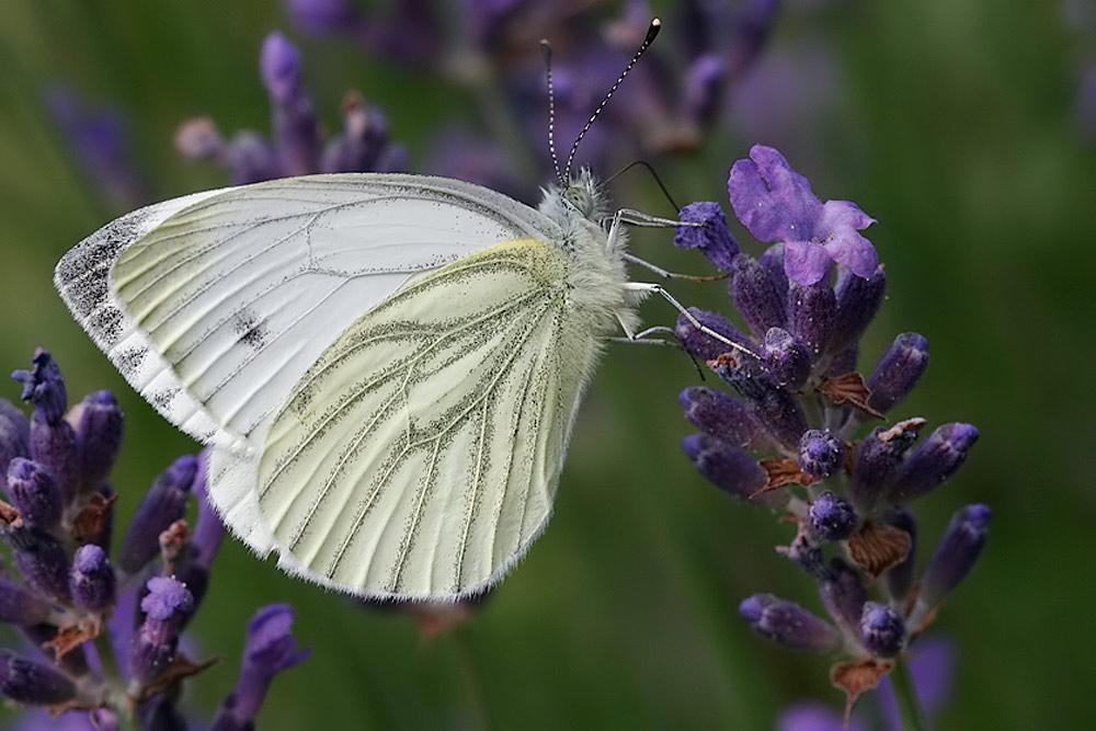 Schmetterling vom letzten Jahr