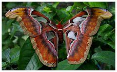Schmetterling von der Insel Bali