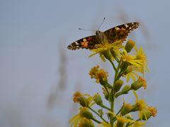 Schmetterling von vorne!