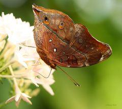 Schmetterling - Wandelndes Blatt Doleschalia bisaltide