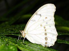 Schmetterling White Morpho-Morpho polyphemus