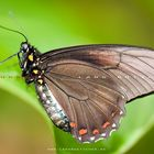 Schmetterling01