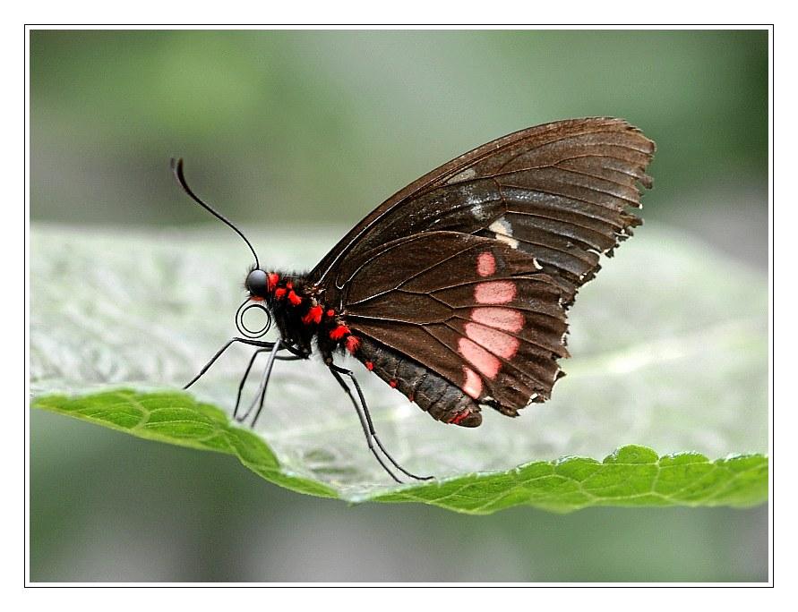 Schmetterling_#04215_1