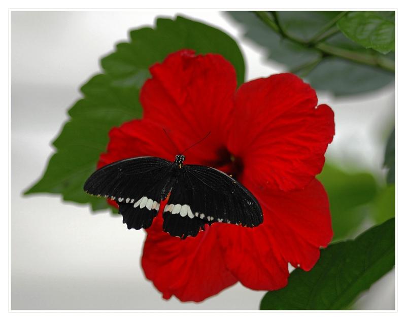 Schmetterling_#_04240_1