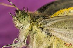 Schmetterlingaugen
