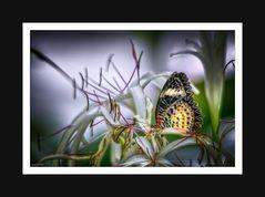 Schmetterlinge 003