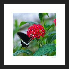 Schmetterlinge 004
