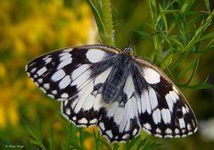Schmetterlinge 08