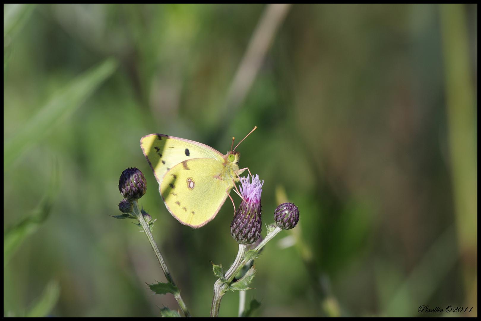 Schmetterlinge 5