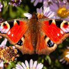 Schmetterlinge am 26.10.2019  3