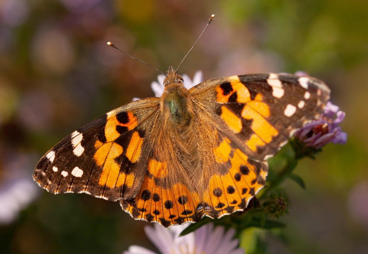 Schmetterlinge am 26.10.2019  4