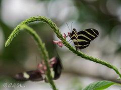 Schmetterlinge auf der Mainau