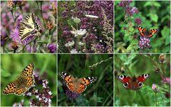 Schmetterlinge auf der Öko- Wiese 2011