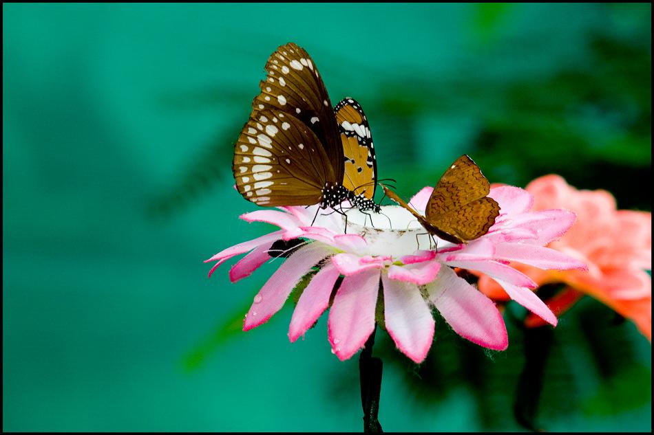 Schmetterlinge auf Kunstblume