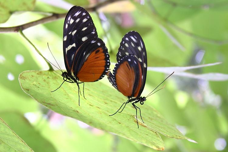 Schmetterlinge bei der Paarung