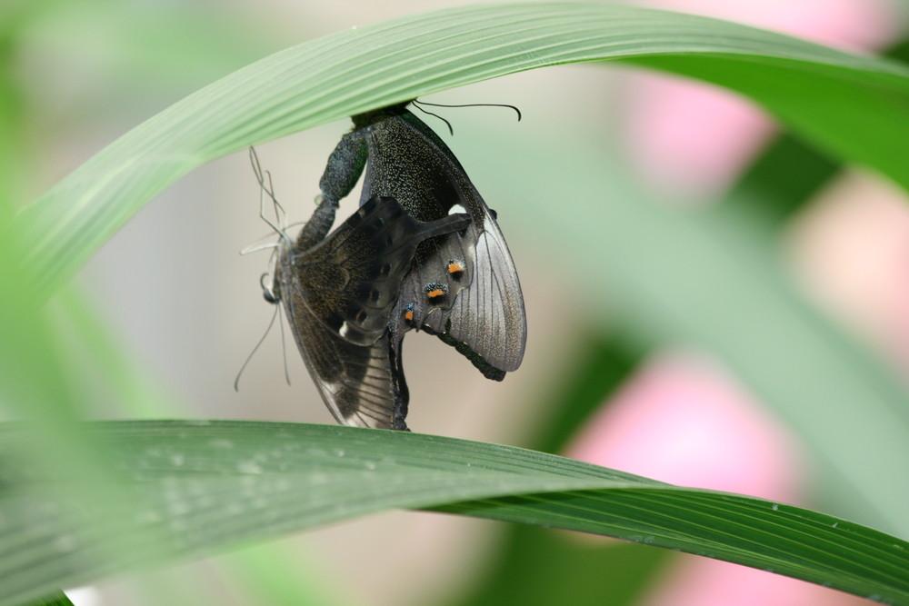 Schmetterlinge bei der Paarung - Psst, nicht zuschauen ...