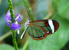 Schmetterlinge-Glasschmetterling Greta oto