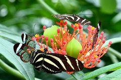 Schmetterlinge-Heliconius charitonius und Greta oto