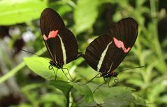 Schmetterlinge-Heliconius erato Kleiner Postbote