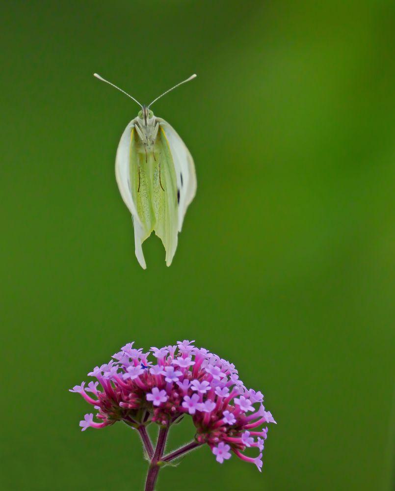 Schmetterlinge hüpfen nicht
