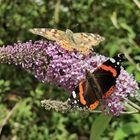 Schmetterlinge im Doppelpack