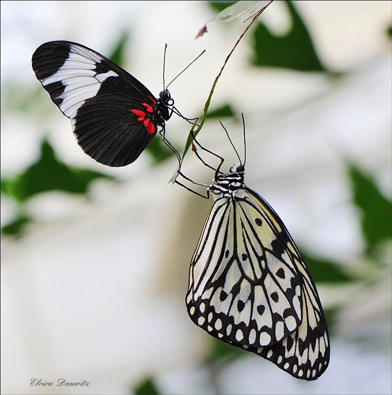 Schmetterlinge im Duo