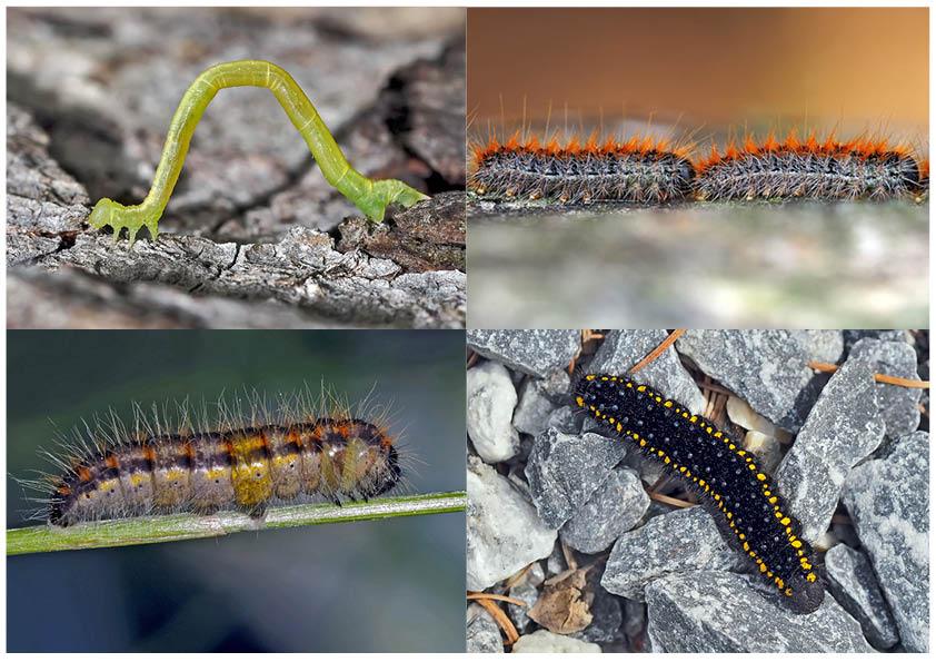 Schmetterlinge Im Fressstadium Raupen 1 Bientôt Ces