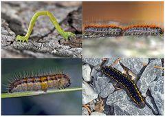 Schmetterlinge im Fressstadium: RAUPEN... (1) - Bientôt ces chenilles seront des papillons!