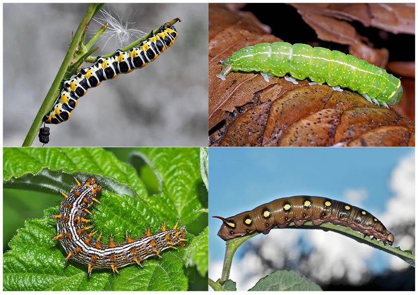 Schmetterlinge im Fressstadium: RAUPEN... (10) - Bientôt ces chenilles seront des papillons!
