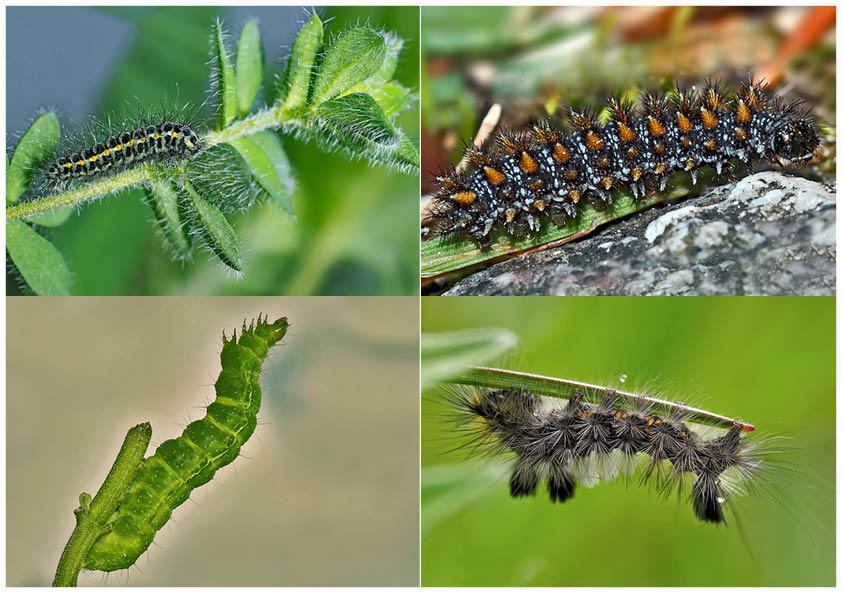 Schmetterlinge im Fressstadium: RAUPEN... (11) - Bientôt ces chenilles seront des papillons!