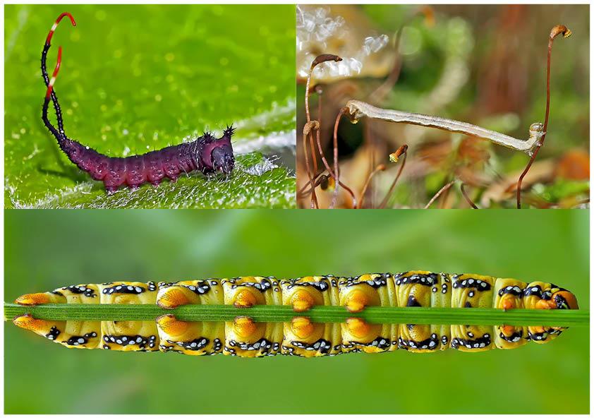 Schmetterlinge im Fressstadium: RAUPEN... (12) - Bientôt ces chenilles seront des papillons!