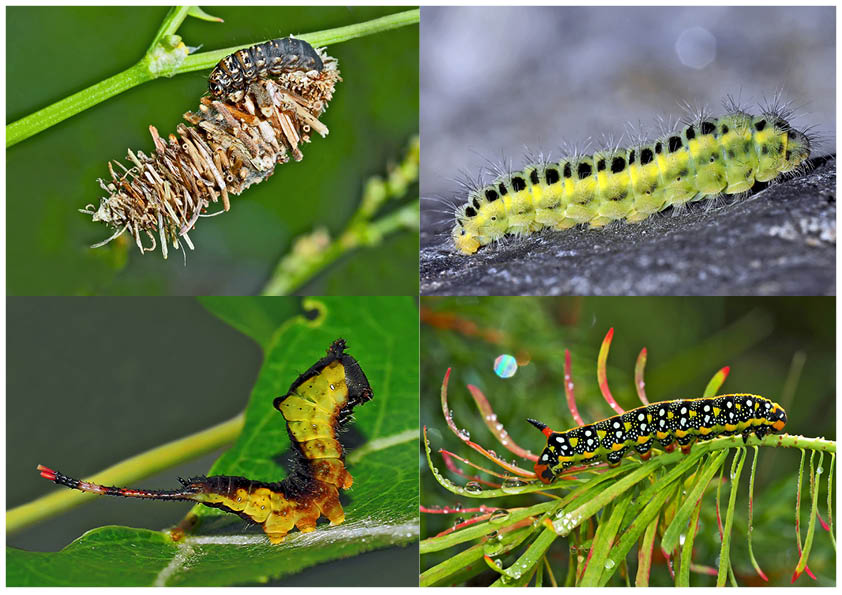 Schmetterlinge Im Fressstadium Raupen 2 Bientôt Ces
