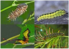 Schmetterlinge im Fressstadium: RAUPEN... (2) - Bientôt ces chenilles seront des papillons!