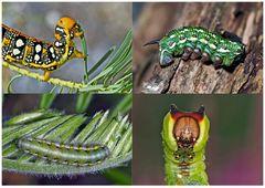 Schmetterlinge im Fressstadium: RAUPEN... (3) - Bientôt ces chenilles seront des papillons!