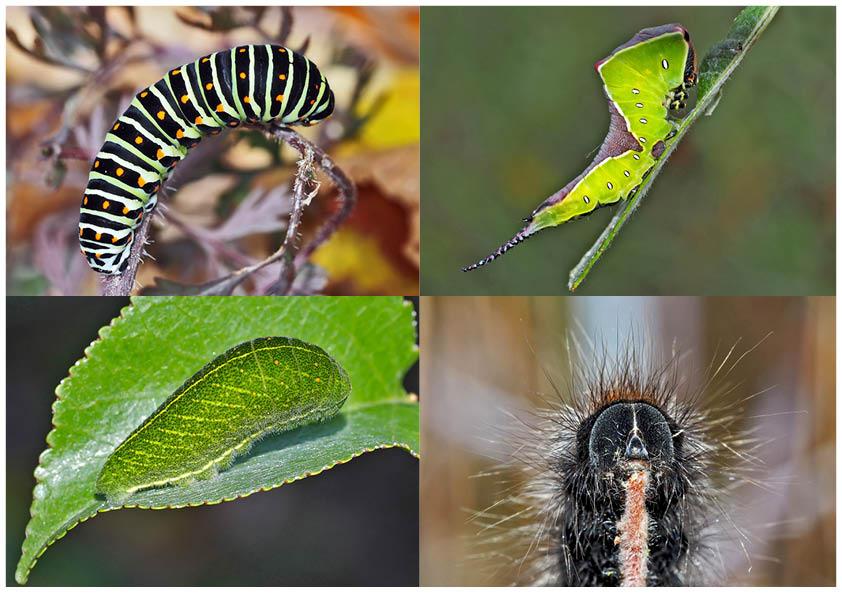 Schmetterlinge im Fressstadium: RAUPEN... (4) - Bientôt ces chenilles seront des papillons!