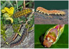 Schmetterlinge im Fressstadium: RAUPEN... (5) - Bientôt ces chenilles seront des papillons!