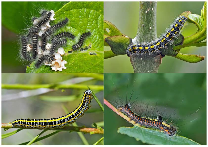 Schmetterlinge im Fressstadium: RAUPEN... (6) - Bientôt ces chenilles seront des papillons!